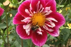017 September - Dahlia Raspberry Sky - Rose, Purple White