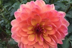 2017 September Dahlia - Pam Howden Pink & Yellow