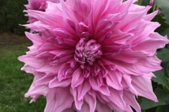 2017 September Dahlia - Pennsgift - Pink Giant