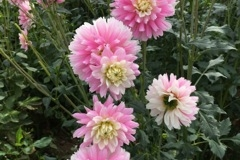 2017 September Dahlia Pink and Cream - Chilson's Pride