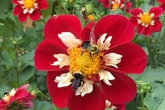 2017 September Dahlia - Rae Meister - Red & White