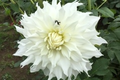 2017 September Dahlia- Walter Hardesty- Showy White Giant
